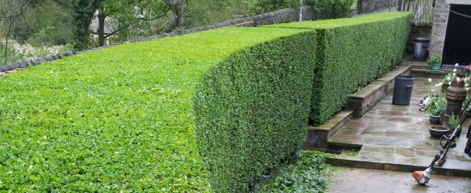 Image of a well maintained hedge with neatly trimmed edges.